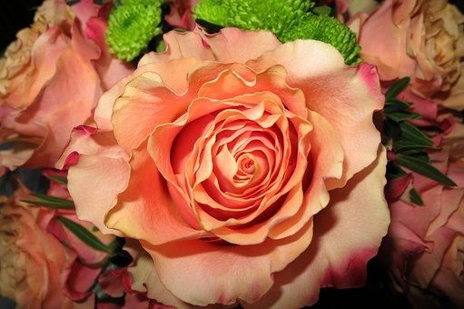 Orange Rose, Open Flower, Close