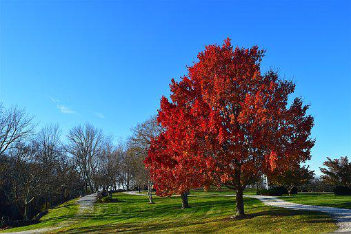 Tree, Foliage, Red, Autumn, Fall, Season, Park, Maple