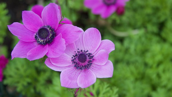 Anemone, Flowers, Spring, Plant, Bloom