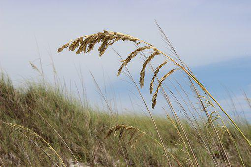 Sea Oats, Beach, Grass, Sea, Sand, Ocean, Oats, Florida