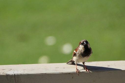 Sparrow, Bird, Wildlife, Cute, Brown, Ornithology