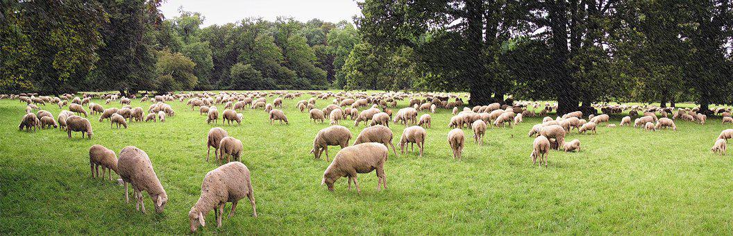 Panorama Photo, The Flock, A Flock Of Sheep, Meadow