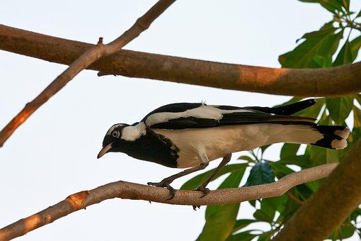 Magpie-lark, Bird, White, Black, Wild, Nature, Plumage
