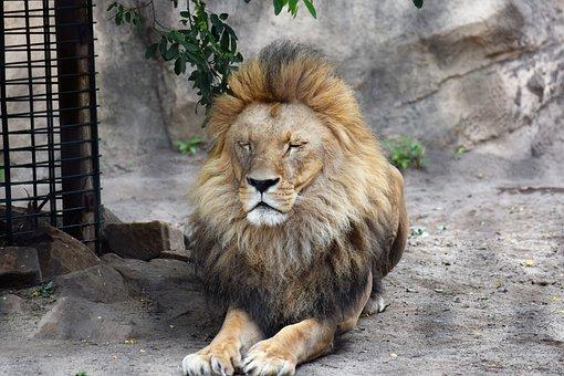 Lion, Animal, Male, Wild Animal, Big Cat, Cat, Zoo