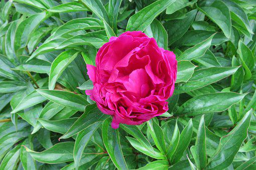 Pink Peony, Red, Blossom, Bloom, Messy