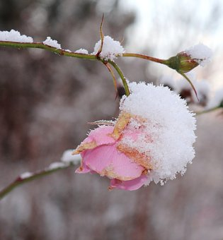 Blossom, Bloom, Pink, Snow, Flower, Frost, Rose, Plant