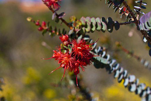 Feather Flower, Verticordia Grandis, Flower, Bloom