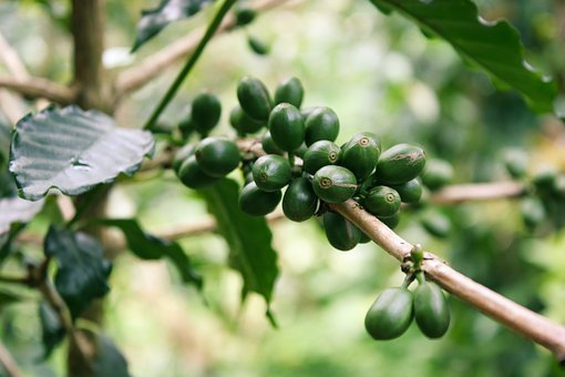 Coffee, Green, Coffee Fruits, Coffee Tree, Coffee Leaf