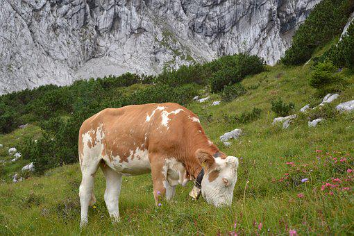 Allgäu, Cow, Allgäu Brown, Pasture, Cows, Ruminant