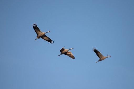 Crane, Fall, Crane Bird, Flight, Bird, Pass, Nature