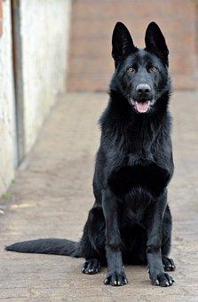 Black German Shepherd, Dog, Portrait, Beauty, Sitting