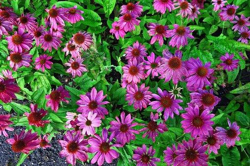 Cone Flower, Purple Cone Flower, Echinacea, Plant