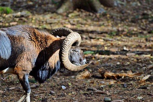 Mouflon, Aries, Wild Animal, European Mouflon, Ungulate