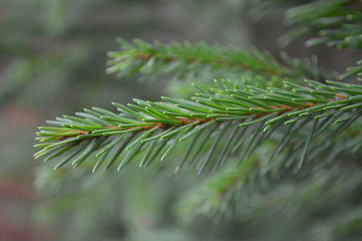 Fir Tree, Autumn, Branches, Forest, Nature, Plant