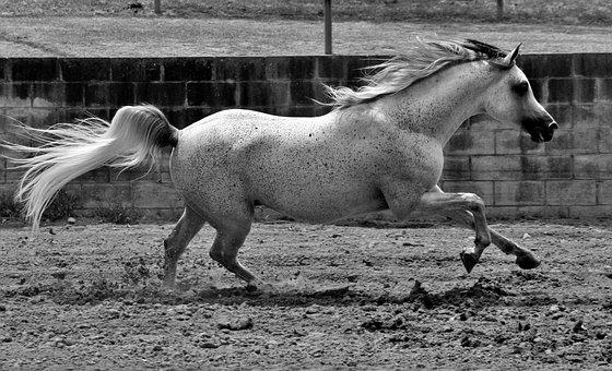 Horse, Equine, Horses, Grey, Gray, Stallion, Arabian