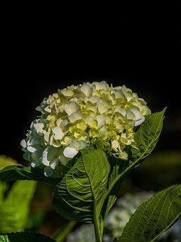 Hydrangeas, Beautiful Flowers, Natural, Flower