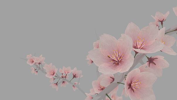 Sakura, Cherry, Blossom, Flower, Pink, Nature, Japanese