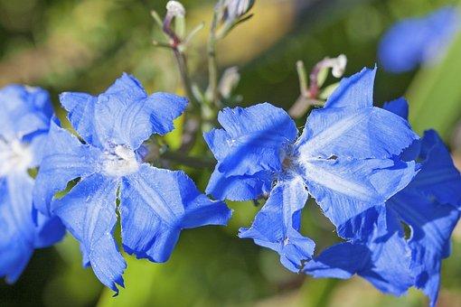 Blue Leschenaultia, Leschenaultia Bilboa, Flower, Bloom