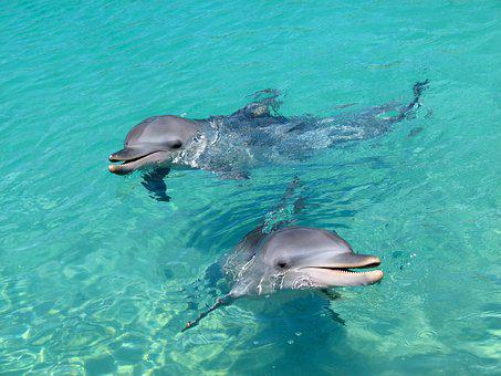 Dolphin, Water, Playful, Aquatic, Animal, Marine