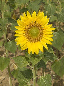 Sunflower, Flower, Pipes, Plant, Nature, Yellow Flower