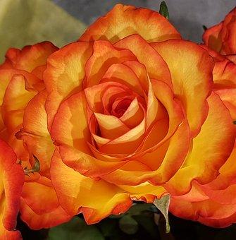 Roses, Orange, Flower, Romance, Love, Petal, Floral