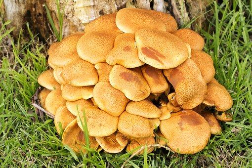 Fungi, Mushroom, Fungus, Food, Brown, Organic, Natural