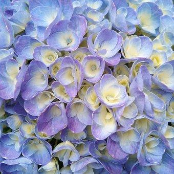 Blue Hydrangeas Flower, Pink, Pink Flowers, Spring