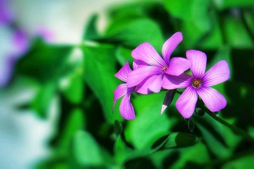 Zuo Jiang Grass, Wild Flowers, Natural, Plant, Grass
