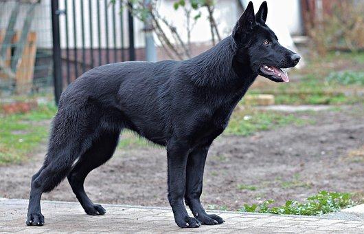 Black German Shepherd, Dog, Portrait, Beauty