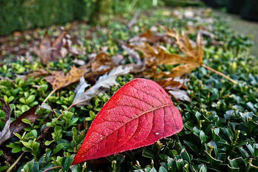 Autumn Leaf, Fallen Leaf, Veins, Red Leaf, Seasonal