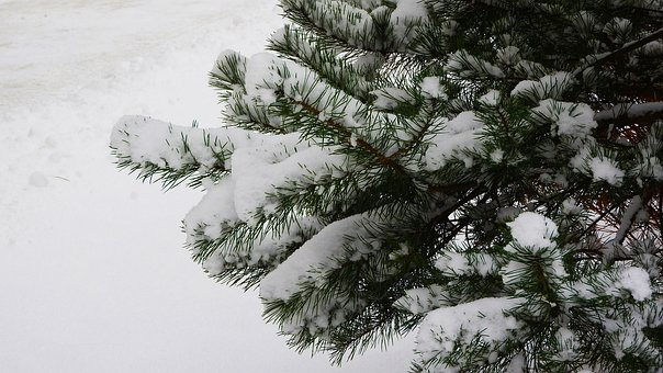 Spruce Branch, Spruce, Snow, The Snow On The Tree