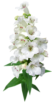 Flower, Stem, White, Penstemon, Garden, Nature, Cut Out