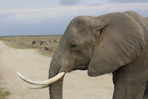 Elephant, Tusk, Safari, Amboseli, Trunk, Africa, Kenya