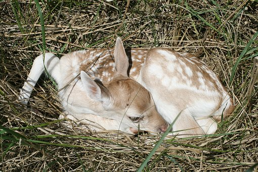 Fallow Deer, Baby, Kitz, Animal, Damm Wild