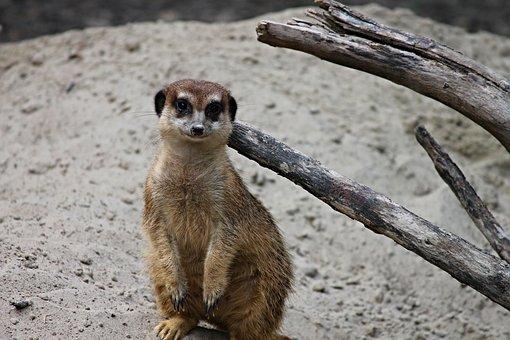 Meerkat, Mongoose, Scharrtier, Young, Small, Ausschau