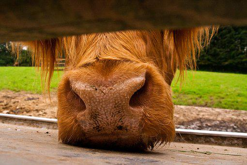 Cow, Snout, Animal, Nose, Beef, Close, Pasture