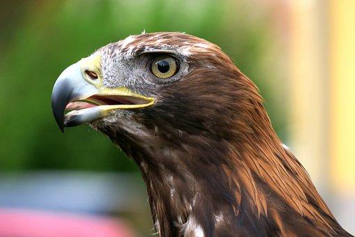 Adler, Golden Eagle, Raptor, Bird Of Prey, Bird, Close