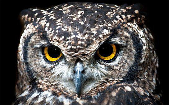 Spotted Eagle Owl, Owl, Avian, Bird, Cape Town