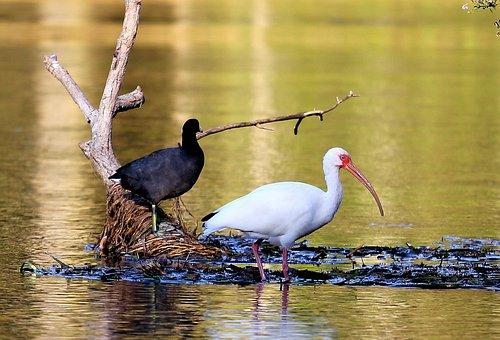 Bird, Swamp, Ibis, Nature, Animal, Wildlife, Wild