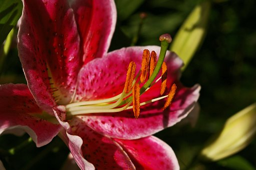 Lily, Flower, Blossom, Bloom, Blossomed, Flower Stamp
