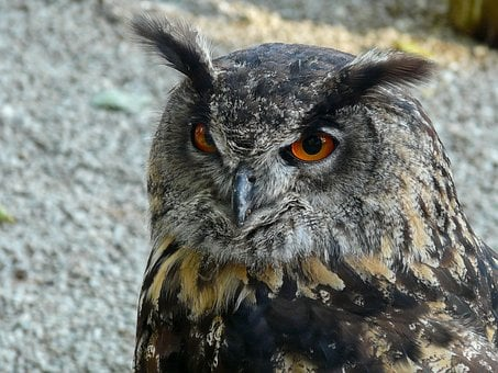 Eurasian Eagle Siberian Owl, Owl, Night Of The Hunter