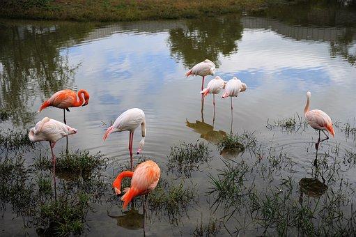 Migratory Birds, Flamingo, Birds, Nature