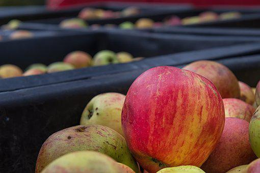 Apple, Bauer, Agriculture, Fruit, Fruit Picking