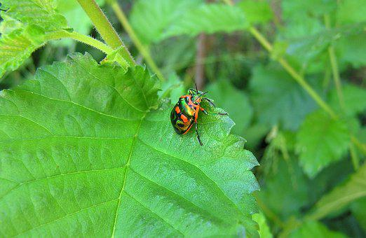 Beetle, Garden, Pest, Insect