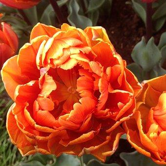 Tulip, Keukenhof Garden, Flower, Garden, Blossom