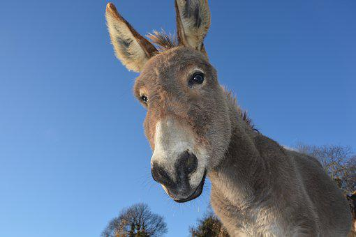 Donkey, Head Ass, Domestic Animal, Long Ears, Prairie