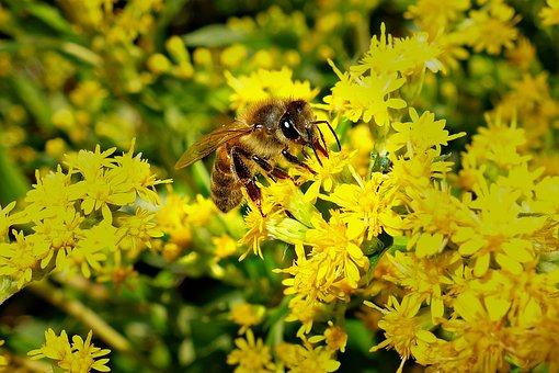 Bee, Honeybee, Insect, Wing, Feeding, Flower, Bloom