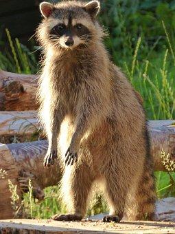 Raccoon, Hungry, Canada, Vancouver Island, Wild, Animal