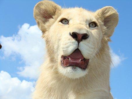 White Lion, Male, Dangerous