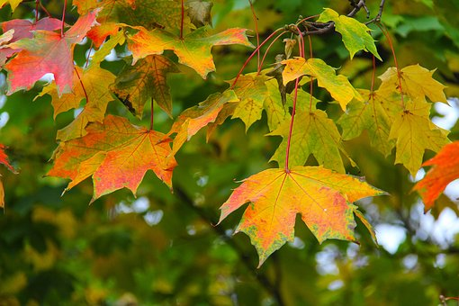Maple, Leaves, Autumn, Leaf, Fall, Season, Red, Yellow